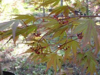 Kinram Japanese Maple 5 Seeds   Acer   Bonsai : Tree Plants : Patio, Lawn & Garden
