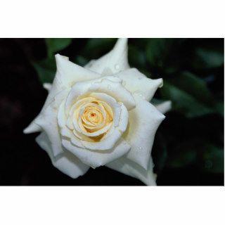 Pascali Hybrid Tea Rose 'Lenip' Roses Photo Cutout