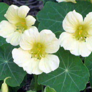 "50 Seeds, Nasturtium ""Moonlight"" (Tropaeolum majus) Seeds By Seed Needs  Flowering Plants  Patio, Lawn & Garden"