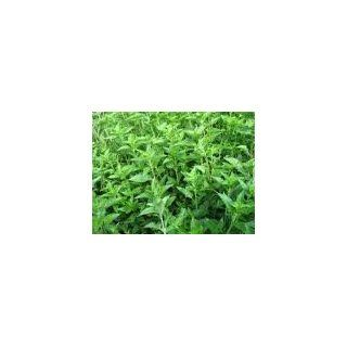 Grass Jelly (Mesona chinensis) 100 fresh seeds for grow  Herb Plants  Patio, Lawn & Garden