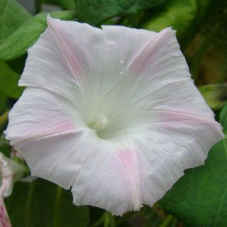 "25 Seeds, Morning Glory ""Shiva"" (Ipomoea purpurea) Seeds By Seed Needs : Morning Glory Plants : Patio, Lawn & Garden"