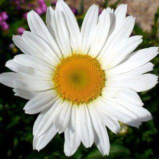 450 Seeds, Shasta Daisy (Chrysanthemum Maximum) Seeds By Seed Needs : Flowering Plants : Patio, Lawn & Garden