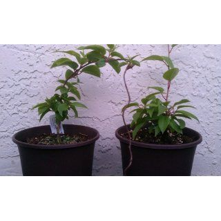 Hirt's 2 Hardy Kiwi Plants   Actinidia   Anna and Meader : Blueberry Plant : Patio, Lawn & Garden