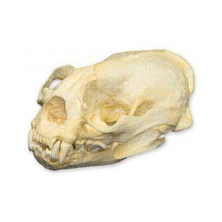 Giant Otter Skull (Teaching Quality Replica): Industrial & Scientific