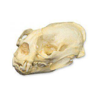 Giant Otter Skull (Teaching Quality Replica): Industrial & Scientific