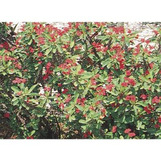 2 Gallon Crown Of Thorns (L3280)