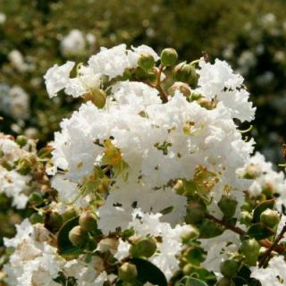Southern Living Plant Collection 2 Gal. Early Bird White Crape Myrtle 37682